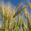 Spring wheat now eligible for CHS Pro Advantage grain marketing contracts